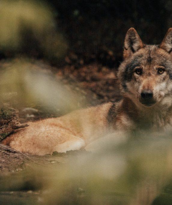 Dormir avec les loups